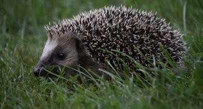 Συναγερμός για τους σκαντζόχοιρους - Φορείς νέων στελεχών κορωνοϊού δείχνει βρετανική έρευνα