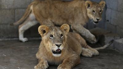 Λιοντάρι στην Ινδία πέθανε από κορωνοϊό