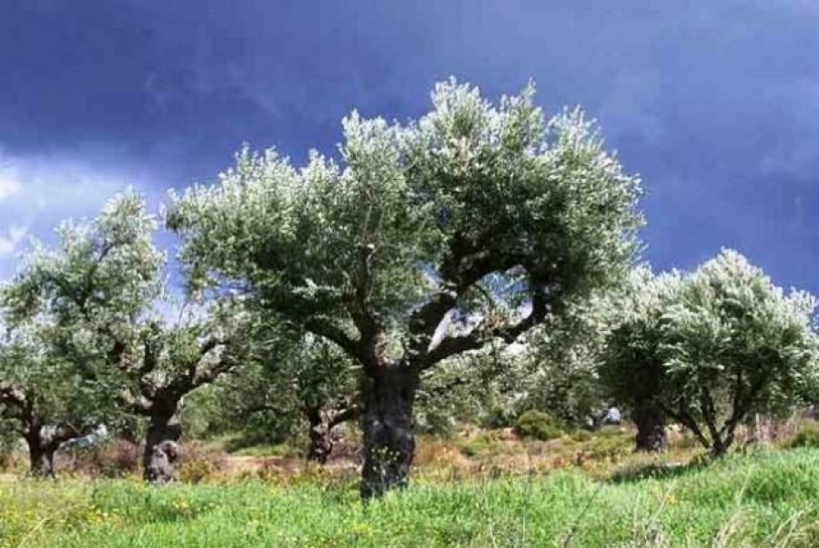 Κινέζοι αγόρασαν 2.000 στρέμματα με ελαιόδεντρα στη Λακωνία