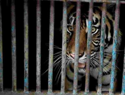 Δύο τίγρεις στην Ινδονησία προσβλήθηκαν από Covid - 19
