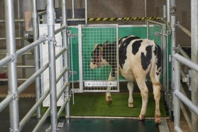 Εκπαίδευσαν αγελάδες να πηγαίνουν τουαλέτα - Στόχος  η μείωση αερίων που προκαλούν το φαινόμενο του θερμοκηπίου