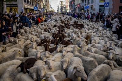 Ισπανία: Γιατί οι δρόμοι της Μαδρίτης κατακλύστηκαν από…πρόβατα