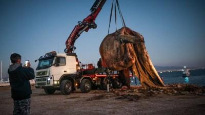 Νεκρή φάλαινα στον Πειραιά: Που μπορεί να οφείλεται ο θάνατος της, τι προβλέπεται να γίνει