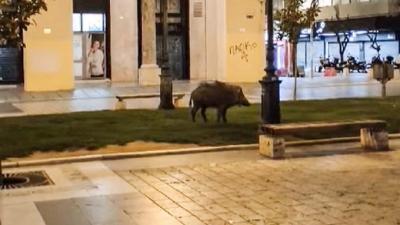 Θεσσαλονίκη: Αγριογούρουνο «έκοβε» βόλτες στην πλατεία... Αριστοτέλους
