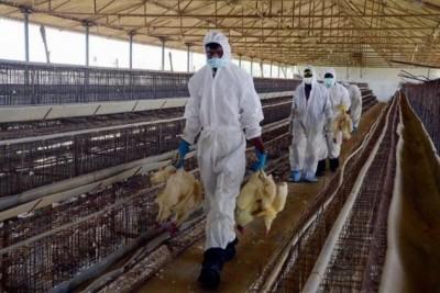 Οι Ινδοί θανατώνουν χιλιάδες ζώα φοβούμενοι τον νέο ιό...H5N8