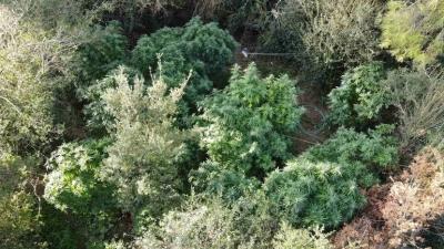 Αυλώνας: Στην «τσιμπίδα» της αστυνομίας χασισοφυτεία σε δασώδη περιοχή