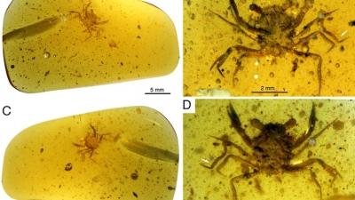 Βρέθηκε πλήρως διατηρημένο καβούρι από την εποχή των δεινοσαύρων εγκλωβισμένο σε κεχριμπάρι